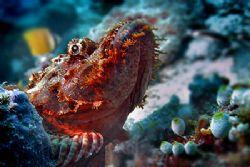 nik D200 - SB800 strobe - scorpionfish - Vakarufalhi by Manfred Bail