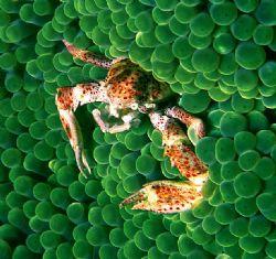 'PORCELIN' Porcelin crab on bubble anemone. Solonmon Sea,... by Rick Tegeler