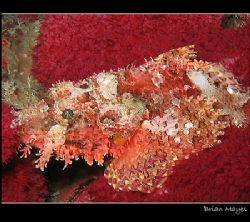 A Tassled Scorpionfish trying to hide in the soft red cor... by Brian Mayes