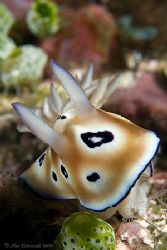 Beautiful Nudi... 400D with 60mm macro by Alex Tattersall