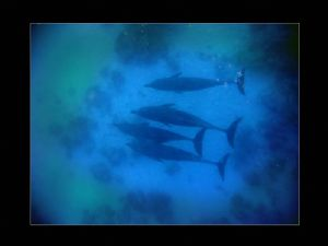 Pod of dolphins spotted off Jackson Reef, Red Sea, taken ... by Steve Baillie