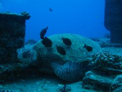 Turtle Cleaning Station - Off Oahu, Hawaii by Tricia Miller