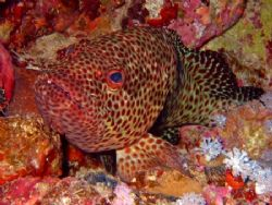 little rock grouper , just chillin on the reef. taken at ... by Matt Andrew