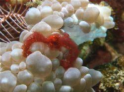 Locals call it an Orang Utan crab! An anemone crab of som... by Alex Lim