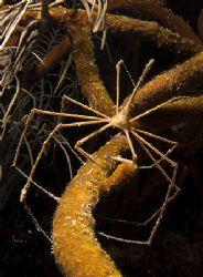 Arrow Crab. Night dive on the Prince Albert, Roatan. Fuji... by Jennifer Temple