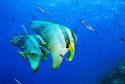 nik D200 - SB800 strobe - Vakarufalhi - Ari Aroll - batfish by Manfred Bail