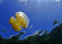 Flying jellyfish, taken at Jellyfish Lake in Palau with t... by Luiz Rocha