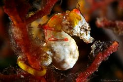 Pontohi Seahorse in Raja Ampat.... 6mm long and jumping a... by Alex Tattersall