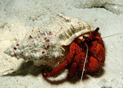 Hermit Crab on a night dive. Taken with a Sony 828 and D2... by Natasha Tate