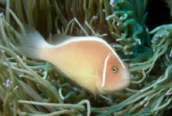 Pink Anemonefish - I admire the contrast between the deli... by David Drake