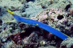 Ribbon eel - Taken in Anilao Batangas. Camera used: Canon... by Arthur Castillo