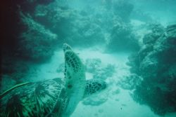 Green Turtle @ 20m, taken with 15m Kodak disposable camer... by Dale Sokolich