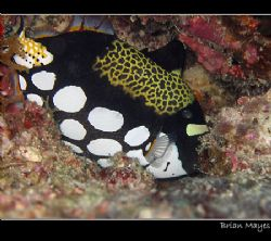 Frightened Clown Triggerfish trying to hide in a crevice.... by Brian Mayes