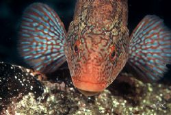 Ballan Wrasse in breeding colouration, taken at Cathedral... by Mike Clark