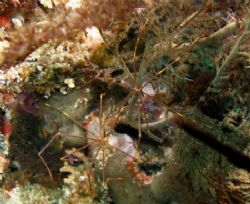 A pair of spider crabs at Mataking Island, Sabah by Alex Lim