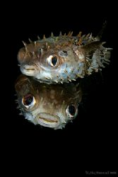 Loving Eyes Puffers .... how cute can they get :) 400D again by Alex Tattersall