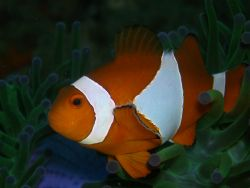 Clownfish was taken last sept. 28, 2006 at divers sanctua... by Jun Yu