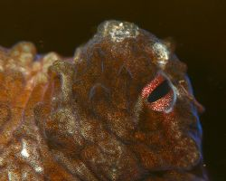 Octopus Eye. Photo taken in Haleiwa, HI. About 10ft of wa... by Mathew Cook