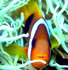 Nemo's cousin Great Barrier Reef  by Andy Thirlwell