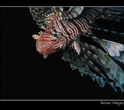 Lionfish head down and hunting. Canon A70 by Brian Mayes