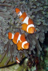 False Clown Anemonefish Household - The entire household ... by David Drake