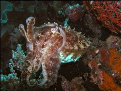 Cuttlefish taking it easy by Roppe Nilsson