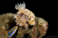 Peeping tom blenny enjoying the nudi mating show.. 400D by Alex Tattersall