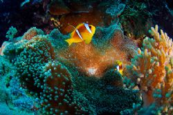 Clownfish and anemone with christmas shining colours! Nik... by Jean-Louis Danan