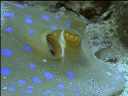 Beautiful bluespotted stingray at ~20 meters depth in Borneo by Roppe Nilsson