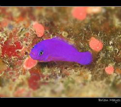 A tiny Magenta Dottyback looking very sad and dejected. C... by Brian Mayes