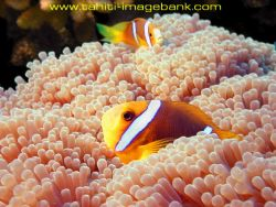 Clown fish by Eric Pinel