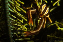 Elegant squat lobster in his perpetually moving crinoidy ... by Alex Tattersall