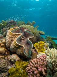 Giant clam (Tridacna gigas) amongst corals. Taken with Ni... by Giles Winstanley