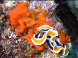 Nudibranch taking it easy! by Roppe Nilsson