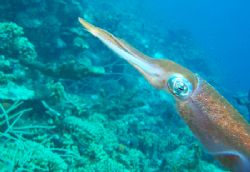 Reef Squid, Curacao Many, many shots taken - at end of th... by Dan Root