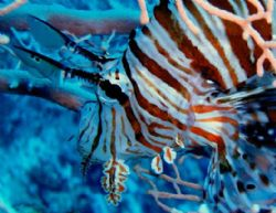Lionfish, spiky king of the reef digesting his preys. Jac... by Erich Reboucas
