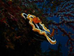 Chromodoris magnifica posing on Liberty wreck Tulamben. S... by Rory Ferguson