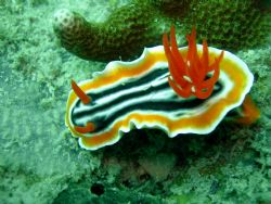 Nudibranch, Photo was taken at 45 feet deep. I used a Nik... by Chuck Gunn