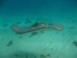 A happy southern stingray by Todd Eyolfson