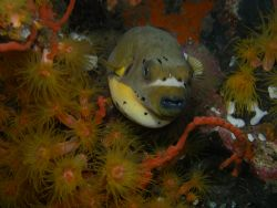 I take this picture of Yellow Popperfish near the drop wa... by Jun Yu