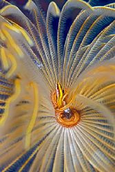 a small fish in a fan tube worm; Nikon N80, 100mm, 2 strobes by Jean-Louis Danan