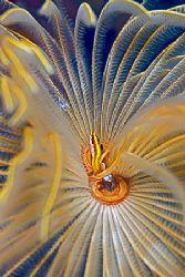 a small fish in a fan tube worm; Nikon N80, 100mm, 2 strobes by Jean-Louis Danan