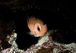 Black Bar Soldierfish w/3 isopod parasites, Black Rock, G... by Michael Foulds