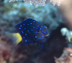 Jeweled Damselfish taken with a Nikon D200 in an Ikelite ... by Don Bricker