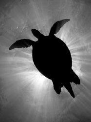 Green turtle silhouette off Sipadan, Malaysia. Olympus C-... by Giles Winstanley