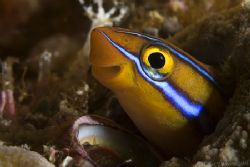 Smiling fangblenny wishing you happy holidays !! by Alex Tattersall