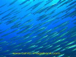 Banc de bécunes - Manihi pass - Tuamotu archipelago by Eric Pinel