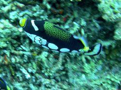 Clown Triggerfish, I use a Nikon Coolpix 7900 with a Fant... by Chuck Gunn