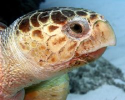 Hawksbill turtle hanging on the edge at Abaco Bahamas - t... by Tim Higgs