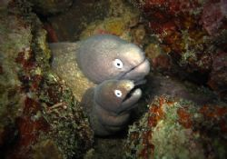 Close Up Shot On Two headed White Eye Moray Eel. by Jun Yu